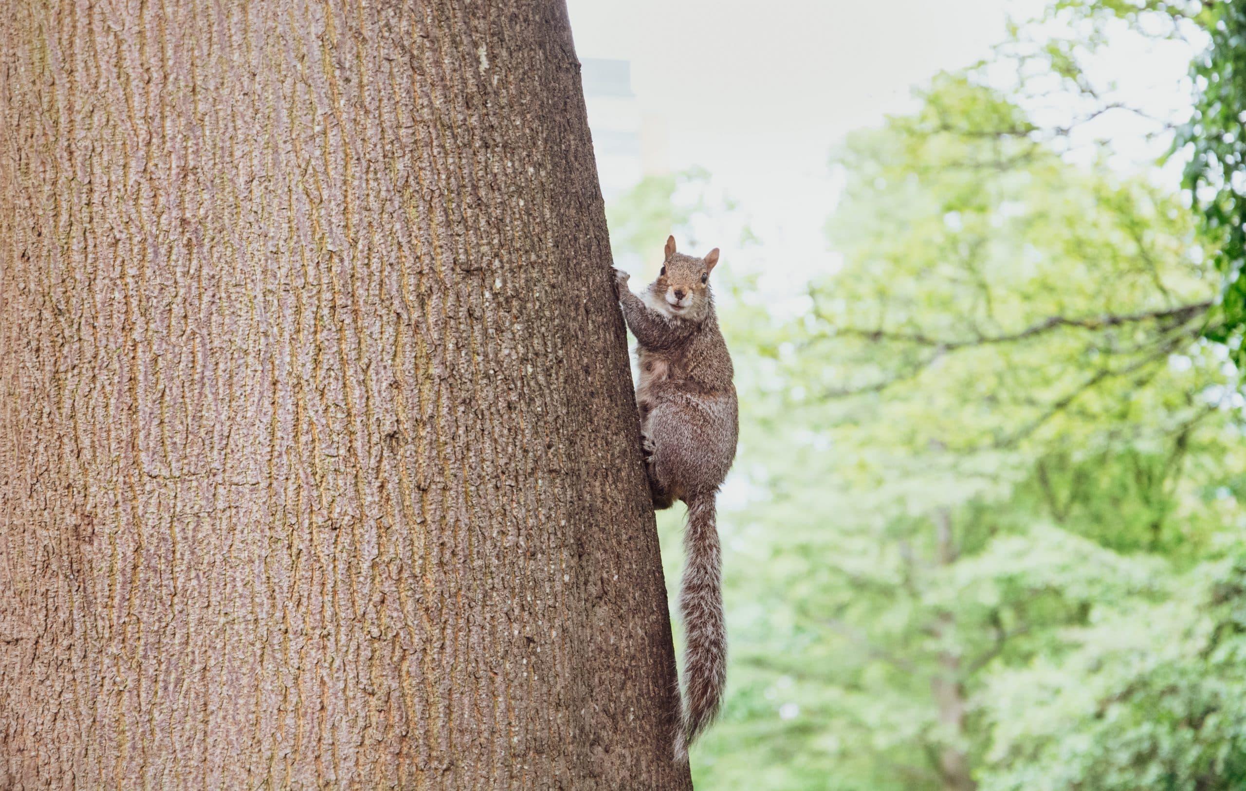 eekhoorn op boom