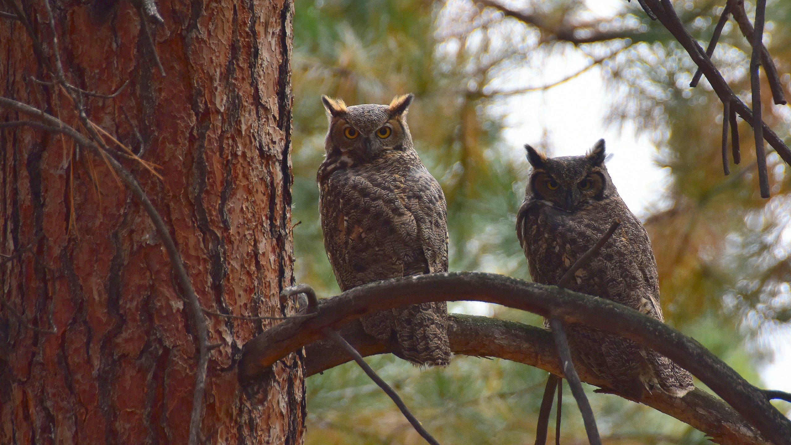 twee uilen op een tak in het bos